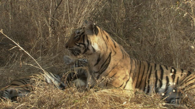 mother tiger and cub looking alert - 肉食哺乳動物の子点の映像素材/bロール