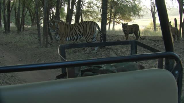 mother tiger and cubs looking the camera - kleine gruppe von tieren stock-videos und b-roll-filmmaterial