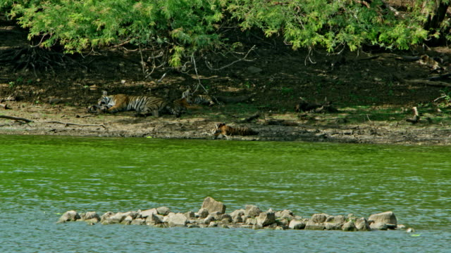 mother tiger and cubs - lakeshore stock videos & royalty-free footage