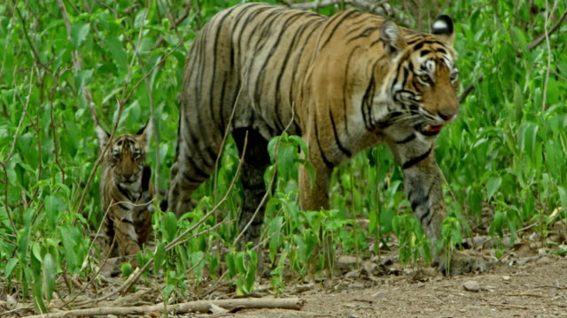 mother tiger and cubs - raubtier stock-videos und b-roll-filmmaterial
