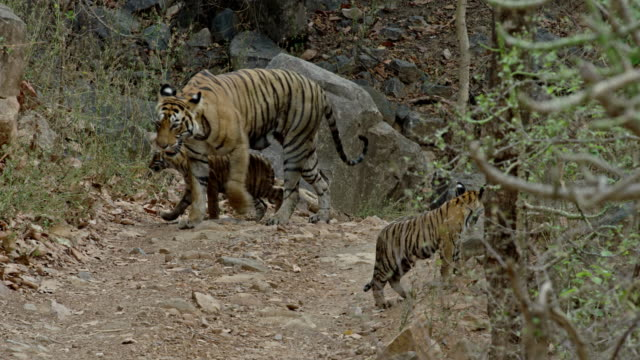 mother tiger and cubs - cub stock videos & royalty-free footage