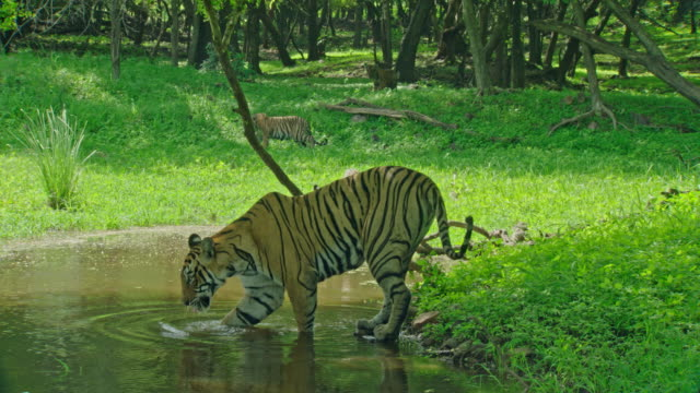 mother tiger and cubs - animals in the wild stock videos & royalty-free footage