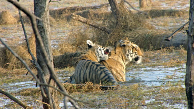 mother tiger and her sub-adult cub biting each other - cub stock videos & royalty-free footage
