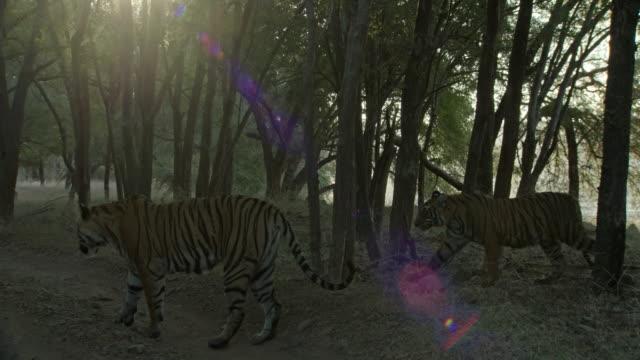 mother tiger sitting on the forest road, cubs standing near the mother. - kleine gruppe von tieren stock-videos und b-roll-filmmaterial