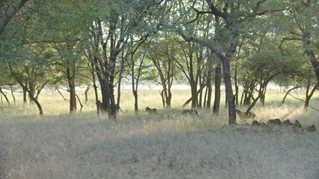 mother tiger standing with her cubs - kleine gruppe von tieren stock-videos und b-roll-filmmaterial