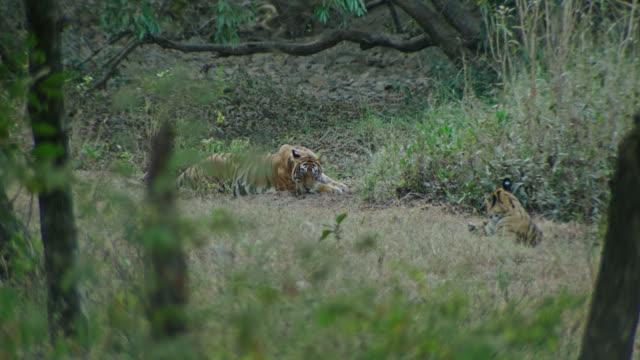 vídeos de stock e filmes b-roll de mother tiger with cub - gema semipreciosa