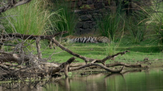 mother tiger with cubs - lakeshore stock videos & royalty-free footage