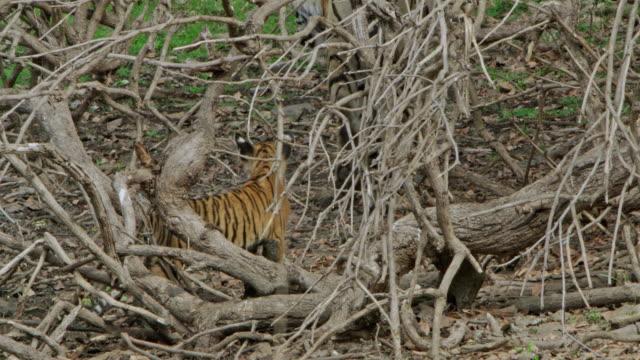 vídeos y material grabado en eventos de stock de mother tiger with cubs - comportamiento de animal