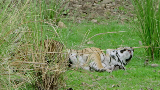 mother tiger with cubs - wildlife tracking tag stock videos and b-roll footage