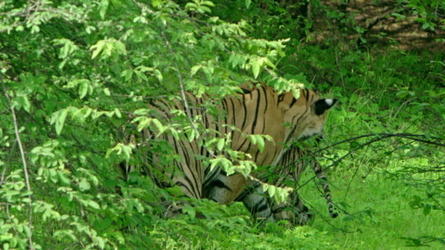mother tiger with cubs - kind pinkelt stock-videos und b-roll-filmmaterial