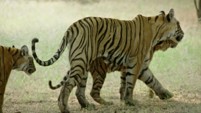 mother tiger with cubs - animals in the wild stock videos & royalty-free footage
