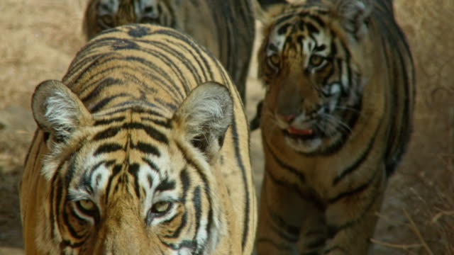 mother tiger with cubs - biodiversity stock videos & royalty-free footage