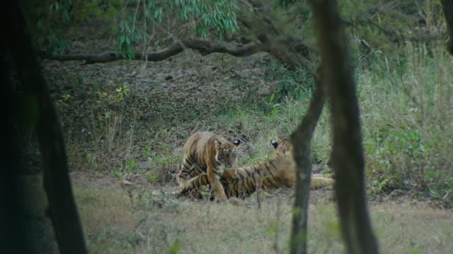 stockvideo's en b-roll-footage met mother tiger with cubs - vachtpatroon