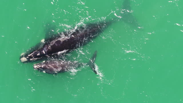 mother whale and her calf - threatened species stock videos & royalty-free footage