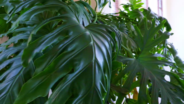 motion close up of a monstera, house plant - pot plant stock videos & royalty-free footage