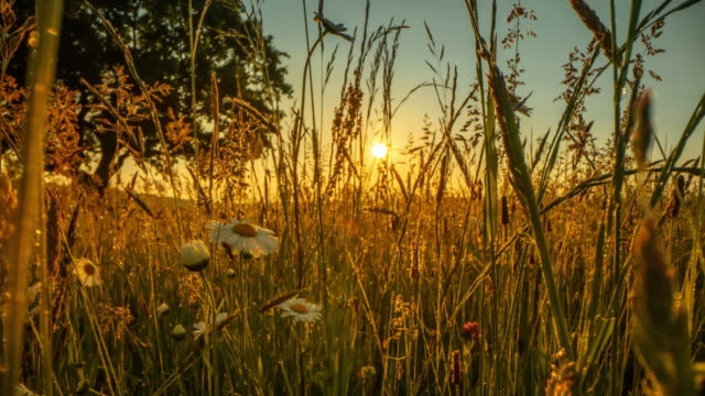 motion control time lapse meadow full of wildflowers and a tree at sunset - meadow stock videos & royalty-free footage