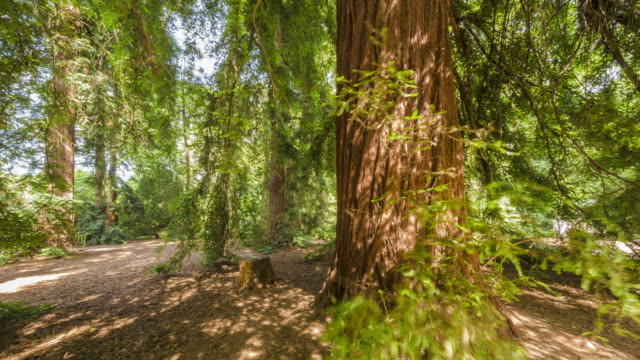 motion controlled time lapse footage of  redwoods at royal botanic gardens kew in london. - coast redwood stock videos & royalty-free footage