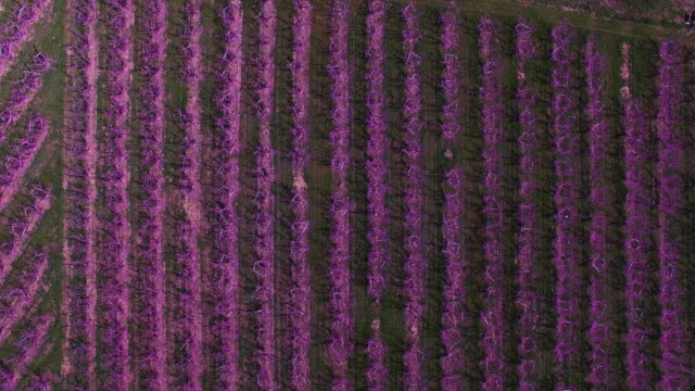 vídeos y material grabado en eventos de stock de motion footage recorded with drone flying over the peach trees during blooming season in spring with beautiful pink colors in the catalonia region. 4k uhd. - huerta