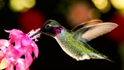 A motion time lapse footage of hummingbird visiting pink flower with dew drops