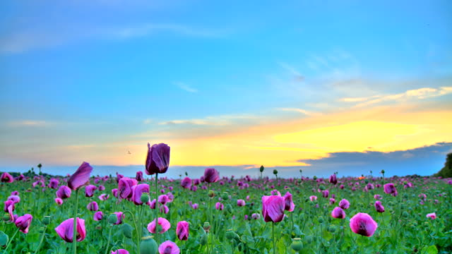 hd motion time-lapse: beautiful cloudscape over poppy field - single flower stock videos & royalty-free footage
