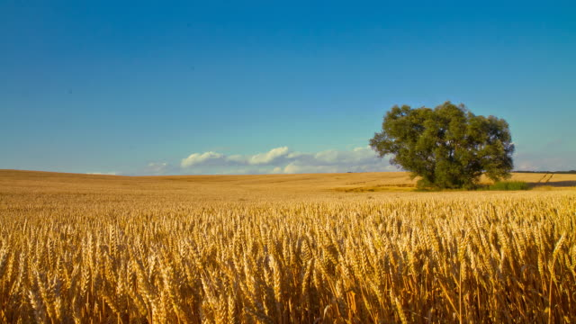 HD Motion Time-Lapse: Beautiful Golden Wheat Field