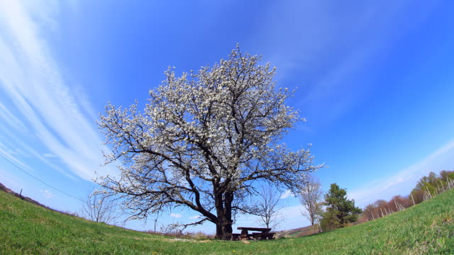 hd motion time-lapse: cherry tree against sky - fish eye lens stock videos & royalty-free footage