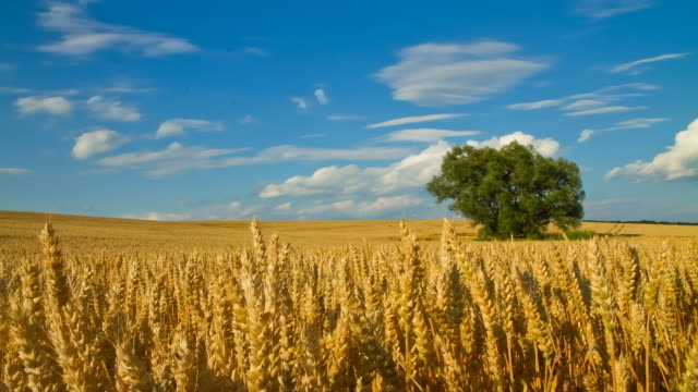 hd motion time-lapse: cloudscape over golden wheat field - single tree stock videos & royalty-free footage