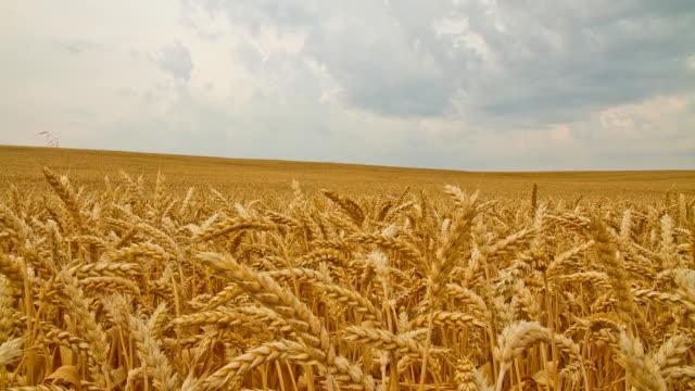 hd motion: panorama di nuvole sopra il campo di grano dorato - crane shot video stock e b–roll
