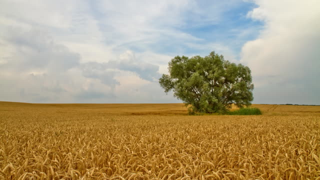 HD Motion Time-Lapse: Cloudscape Over Wheat Field