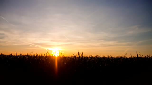 HD Motion Time-Lapse: Field Of Wheat At Sunrise