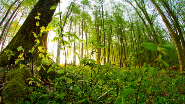 HD Motion Time-Lapse: Sunbeams In Beautiful Forest