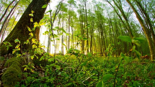 hd motion time-lapse: sunbeams in beautiful forest - grodperspektiv bildbanksvideor och videomaterial från bakom kulisserna