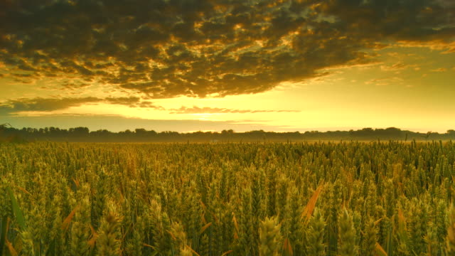 HD Motion Time-Lapse: Wheat At Sunrise