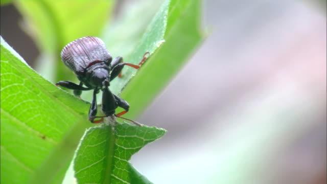 vidéos et rushes de motschulsky cutting leaf - insecte