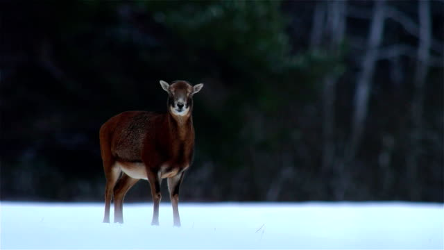 mouflon - fine art portrait stock videos & royalty-free footage
