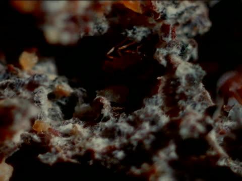 vídeos de stock e filmes b-roll de mound of earth fungus garden cu smaller leafcutter ants moving larvae around in fungus garden xcu adult leafcutter ants all around larvae scent... - saúva da mata