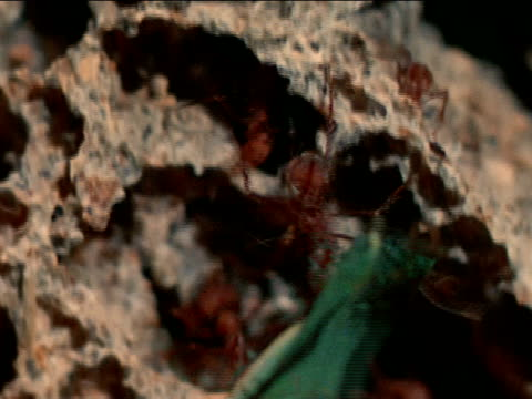 vídeos de stock e filmes b-roll de mound of earth fungus garden w/ leafcutter ants crawling over some w/ pieces of leaves xcus ants crawling over fungus garden fungus growing on side... - saúva da mata