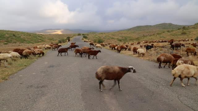 Mount Aragats, herd of sheep crossing a road