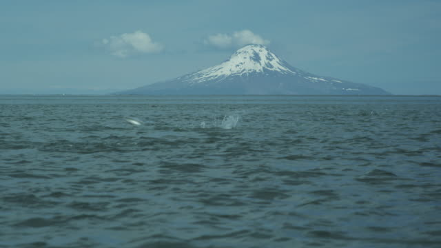 mount augustine in background, salmon leaping and two seals swimming in foreground, mcneil river game range, alaska, 2011 - seals stock videos and b-roll footage