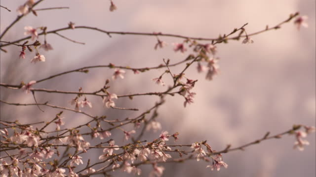 mount fuji appears behind low clouds and a branch of cherry blossoms. - cherry blossom stock videos & royalty-free footage