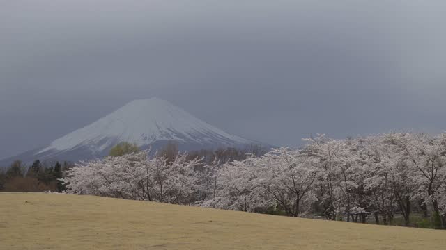 mount fuji with cherry blossom (sakura) flowers at lake kawaguchi. - 山梨県点の映像素材/bロール