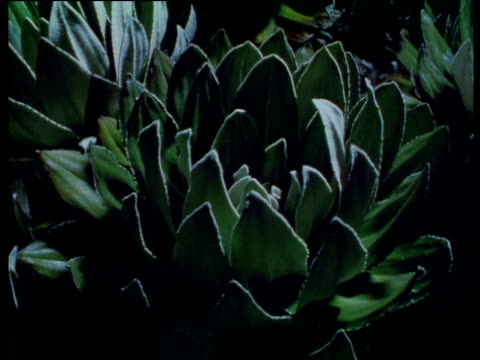 mount kenya cabbage groundsels close up their leaves during freezing cold night. - crucifers stock videos and b-roll footage