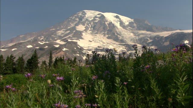 mount rainier rises behind evergreens and wildflowers. - mount rainier stock-videos und b-roll-filmmaterial