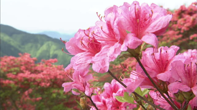 mountain and azalea   up - pistil stock videos & royalty-free footage