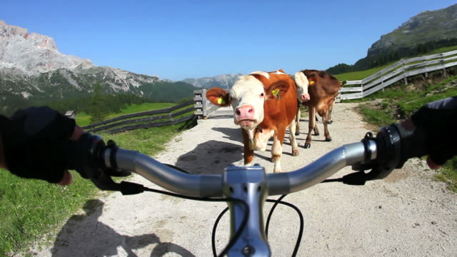 pov di mountain bike interrotto per le vacche su sentiero di montagna - mountain bike video stock e b–roll