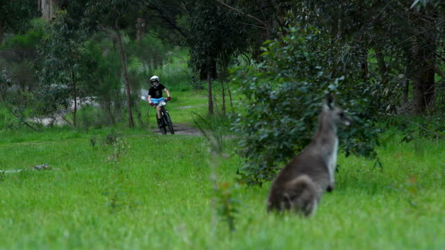 mountain bikers ride past a kangaroo during the lysterfield twilight mountain bike race at lysterfield park on october 13 2017 in melbourne australia - mountain bike video stock e b–roll