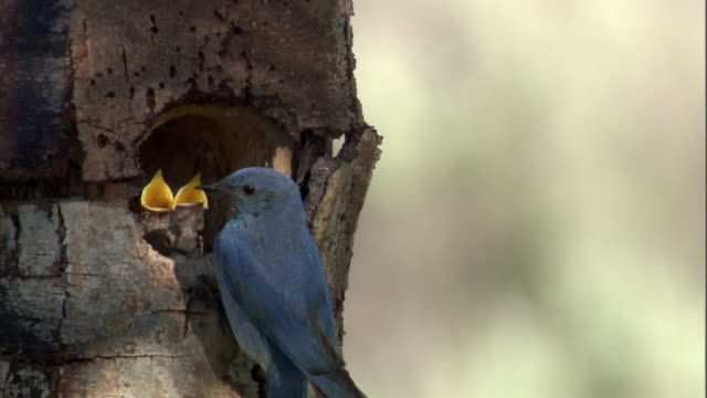 mountain bluebird (sialia currucoides) feeds chicks in nest, yellowstone, usa - young bird stock videos & royalty-free footage