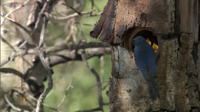 stockvideo's en b-roll-footage met mountain bluebird (sialia currucoides) feeds chicks in nest, yellowstone, usa - voeren