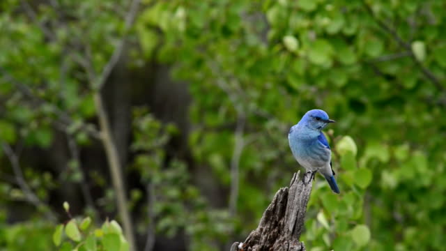 mountain bluebird in yellowstone np - yellowstone national park stock videos & royalty-free footage
