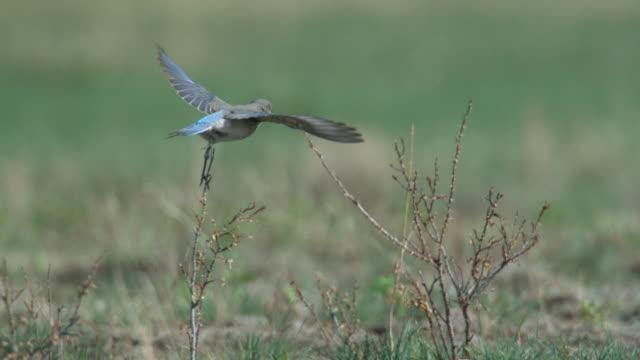 mountain bluebird (sialia currucoides) takes off on prairie, montana, usa - prairie stock videos & royalty-free footage
